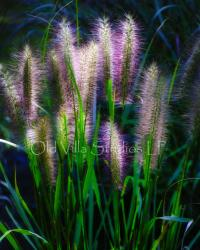 120007 FEATHER GRASS