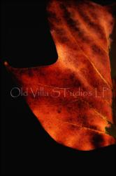 2016 RED TULIP TREE LEAF